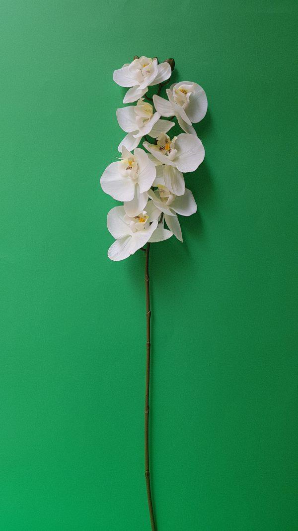 Bruco Ramo Orchidea