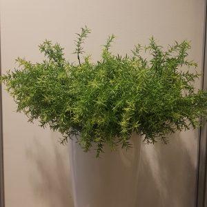 Ramo verde di asparagina