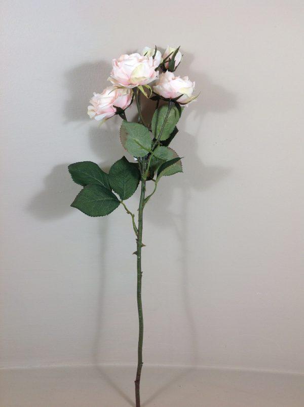 rosa bianca sfumata rosa